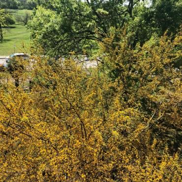 A yellow flowering huisache tree taken below a balcony.
