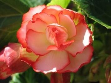 An orange Begonia