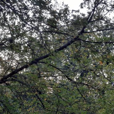 Tree branches covered in leaves that are mostly green, but you can see small hints of yellow signaling the change to fall coming up. Through the leaves you can see peaks of the evening sky.