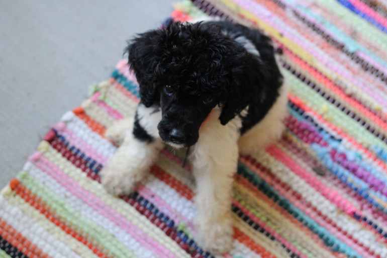 A small black and white poodle sitting on a colorful carpet