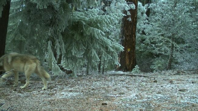 Not much research had been done on the cascade wolf before it became extinct. Wolves Active In Mount Hood Area For First Time Since Species Returned To Oregon Ktvl