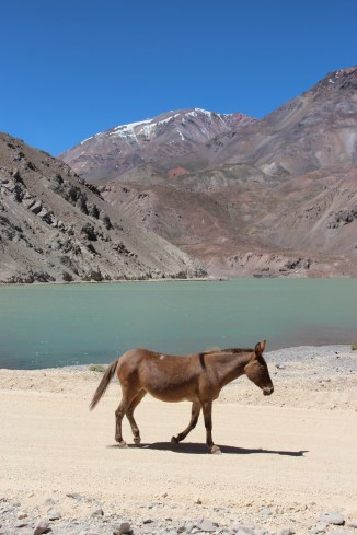 Mule, upper Valle de Elqui