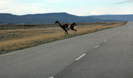 Guanaco_crossing_cropped