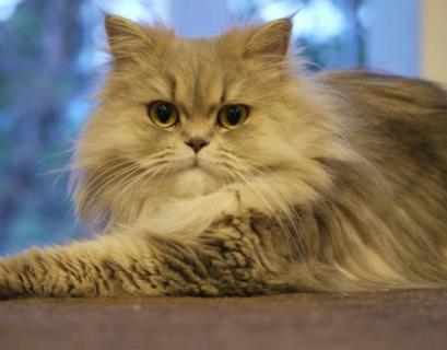 [Panduan Lengkap] Cara Merawat Kucing Persia 2020
