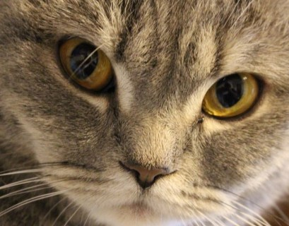 10 Kucing Lucu Sedunia dengan Wajah Imut dan Gemesin