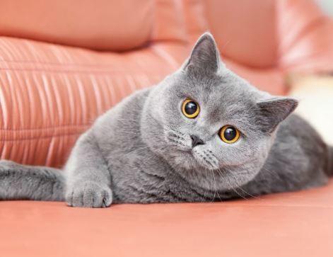Harga Kucing British Shorthair Terbaru 2020