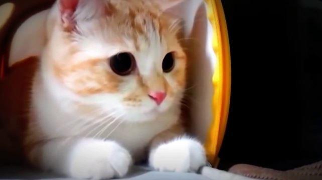 10 Foto Kucing Anggora Lucu Banget