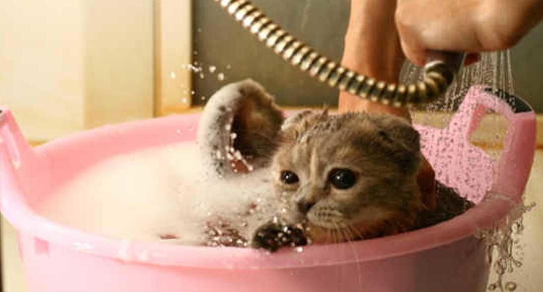 Cara Memandikan Kucing Dengan Baik