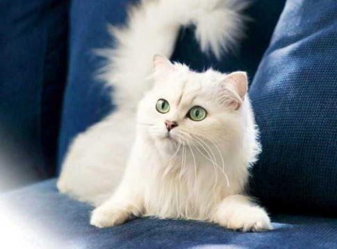 gambar-jenis-kucing-anggora Harga Kucing Anggora Terbaru 2019