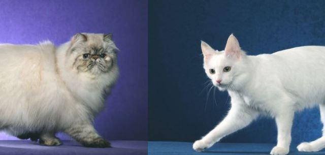 5 Perbedaan Kucing Anggora dan Persia
