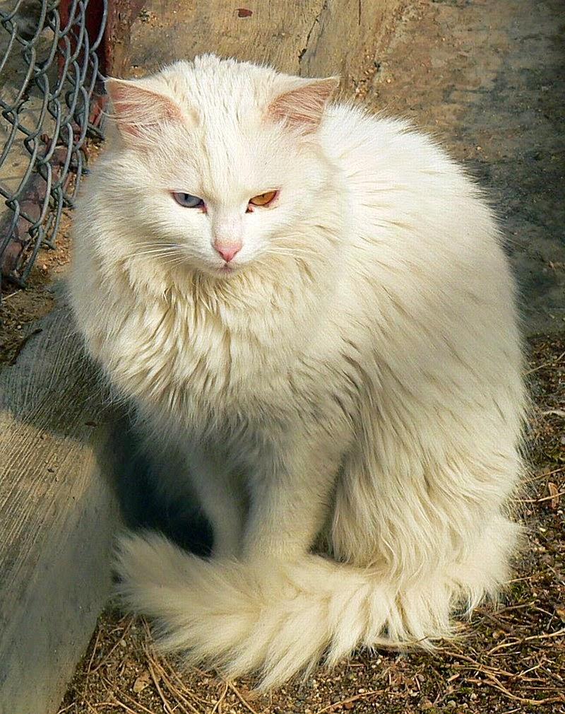5 Tips Membedakan Kucing Anggora Asli Atau Palsu