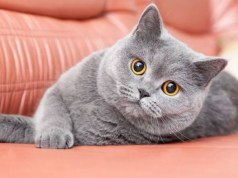 Kucing British Shorthair