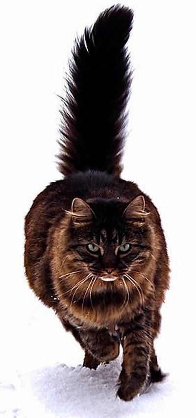 wpid kucing lucu maine coon 001.jpg - Kerennya Maine Coon, si Lucu Raksasa