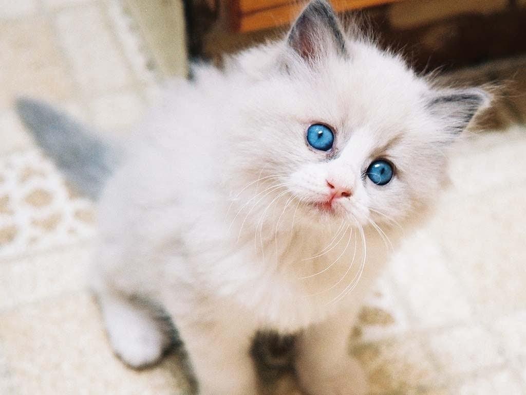 anak kucing anggora asli bermata biru cantik