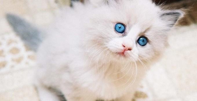anak kucing angora asli bermata biru cantik