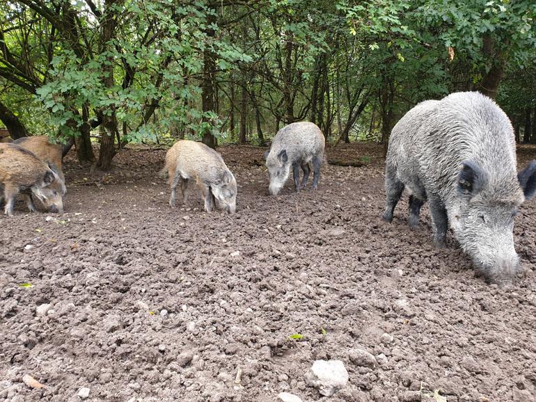 Trappenkamp Wildschweine