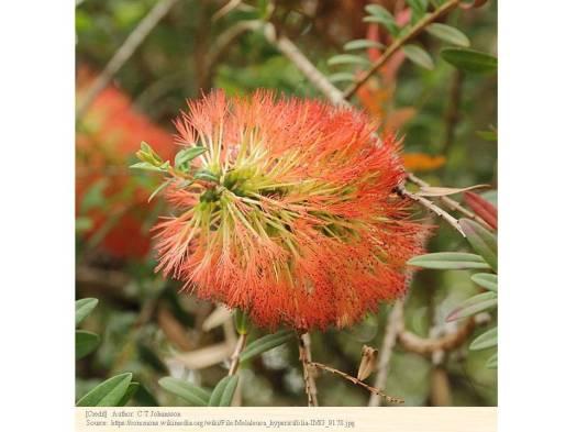 メラレウカ・ヒロックブッシュ 種子