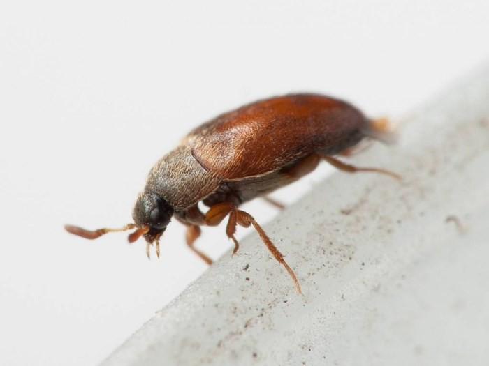Маленькие коричневые жучки в квартире: как избавиться