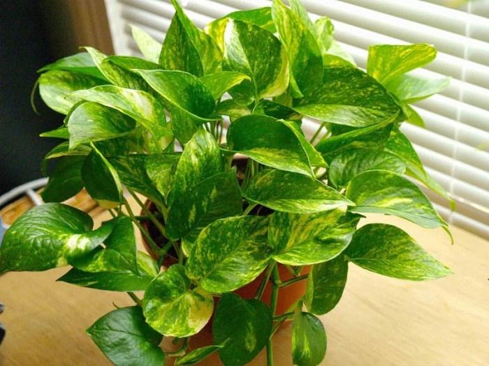 Комнатное растение для кухни