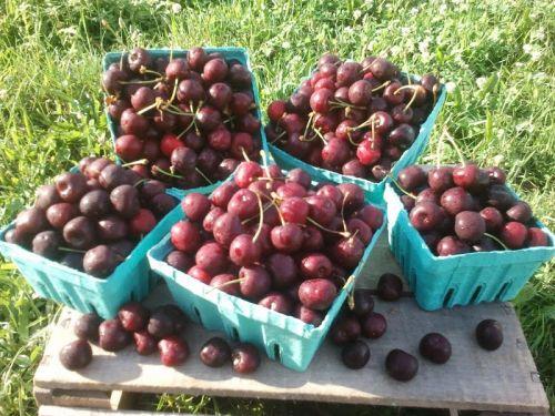 cherries m