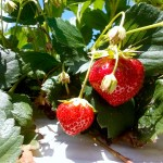 the strawberry patch at our farm