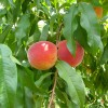 Peaches at Kuhn Orchards