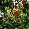 Peaches on Tree 600px