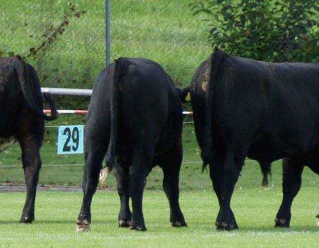 Das wichtigste zur Kuh