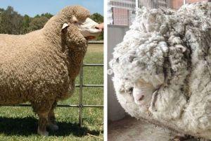 merino vuna