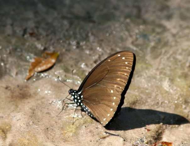 Butterfly - Phnom Kulen