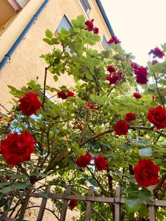 Rosen im Lehel