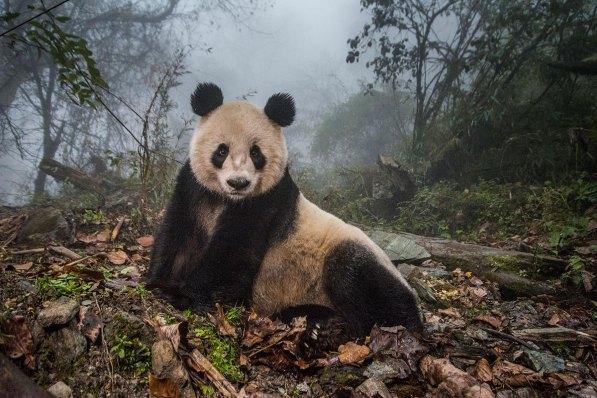 Panda in einer chinesischen Zuchtstation. Natur – Zweiter Preis, Fotoserien © Ami Vitale, National Geographic Magazine Titel: Pandas Gone Wild