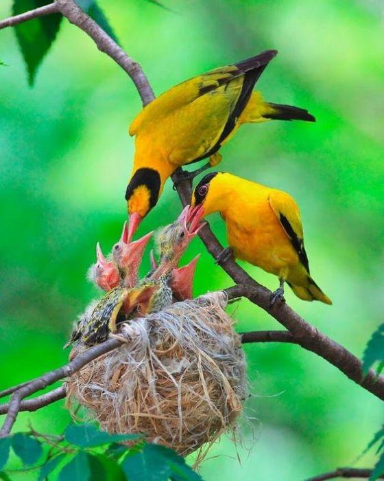 Яркие желто-черные птицы предпочитают питаться насекомыми, но также употребляют в пищу и лесные ягоды.