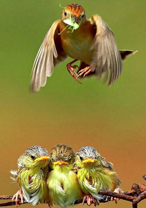 Прокормить троих птенцов – очень тяжелая задача для маленькой певчей птички.
