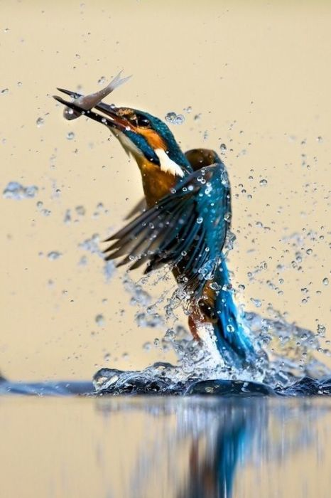 За день крошечная птичка добывает от 10 до 15 мелких рыбок, устраивая засады в укромных местах над водой.
