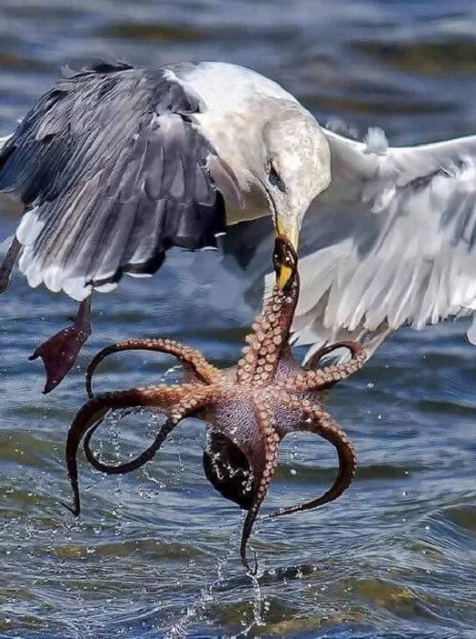 Эти крупные птицы успешно охотятся на рыб, ракообразных и моллюсков, не брезгуют грызунами, ящерицами и даже пищевыми отбросами.