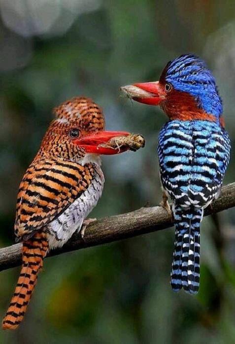 Небольшие полосатые птички часто охотятся на земле и стволах деревьев, где добывают тараканов, ящериц и сколопендр.