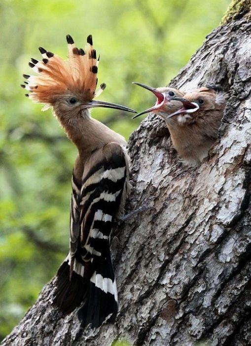 Особым лакомством у этих забавных пестрых птиц являются мясные мухи и навозные жуки.