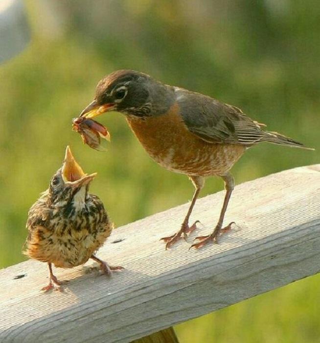 Рацион питания певчей птички, обитающей в садах и парках, состоит из насекомых и ягод.