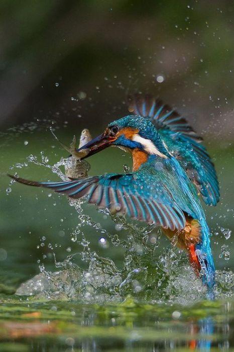 Мелкая птичка является очень терпеливым охотником, который может долго караулить добычу над водой.