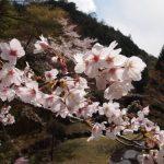 関西の花見スポット!花見ドライブ!桜の公園でピクニックと温泉!