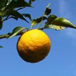 【花粉症対策】花粉症に効く「幻の果実」がすごい!熊野名物が効果的?!