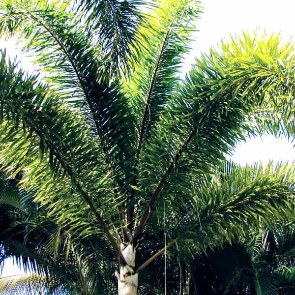 Foxtail Palm