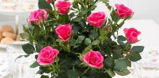 Комнатные розы