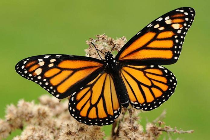 бабочка Danaus plexippus