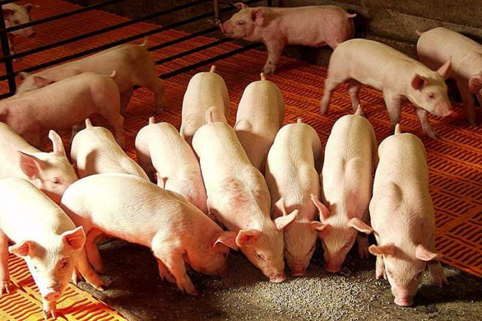 Свиньи на откорме