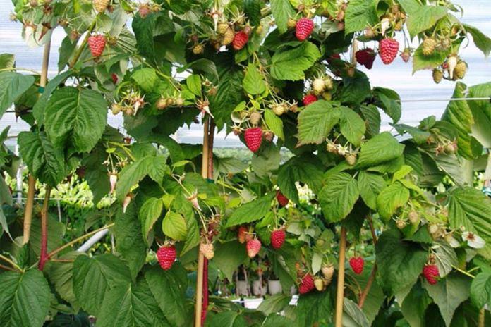 Таруса – малинное дерево