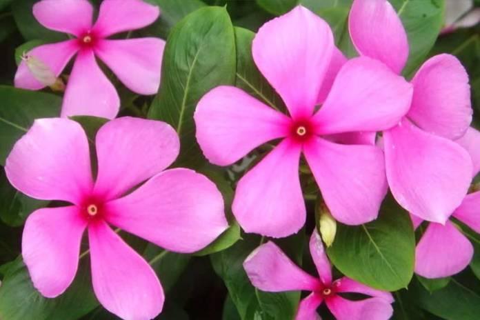 катарантус розовый