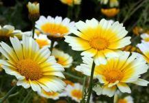овощная хризантема