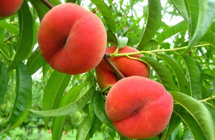 Персик – в виде куста